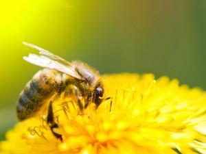 VIH-detruire-le-virus-du-Sida-avec-du-venin-d-abeille