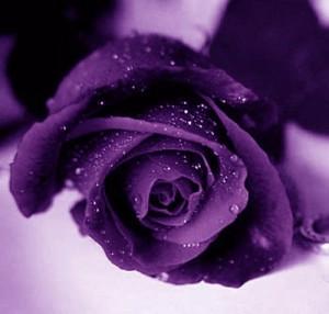 roseviolette
