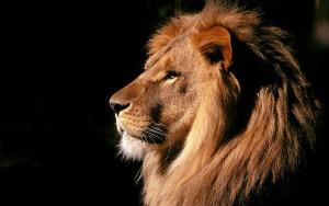 lion-magnifique